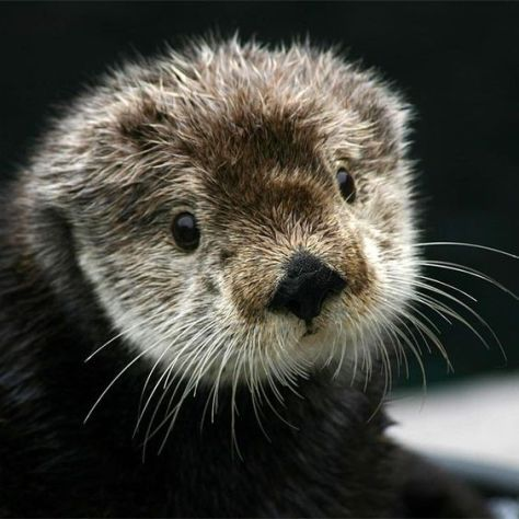 crown-conservation-photo-1-zen-photography-gidget-the-sea-otter-monterey-bay-aquarium